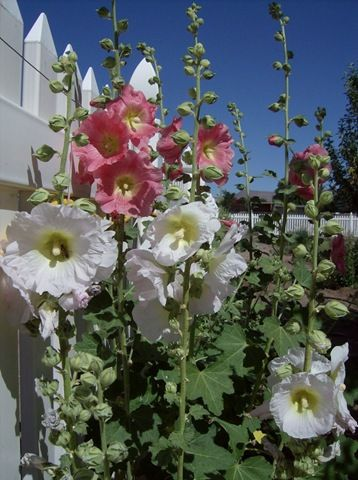 How to Grow Hollyhocks - played with hollyhocks & made a little doll with a bud for the head, then a toothpick and a blossom for the skirt.