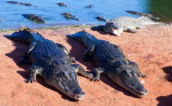 Australian Saltwater Crocodiles - Pictures And Facts About The ...