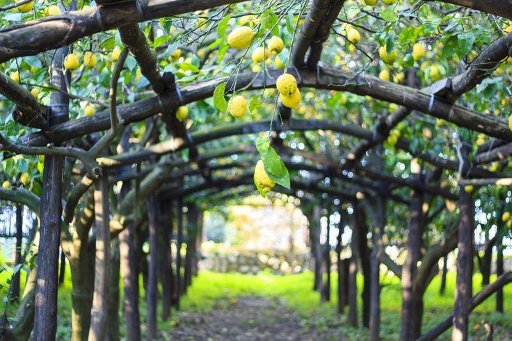 La Penisola Sorrentina: Limoni Costa d'Amalfi I.G.P, Conbipel, estateitaliana