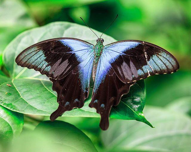 Papilio peranthus...Di sekitar tempat lembab terdapat kawanan Papilios berpita biru yang indah, miletus (Graphium milon) dan telefus (G. eurypylus), Papilio macedon (P. Perathus) hijau emas hebat, dan Papilio rhesus (G. rhesus) dengan ekor seperti burung layang-layang yang sedikit langka, semua meskipun aktif, aku berhasil menangkap serangkaian spesimen yang baik...(Alfred Russel Wallace, 1857)  #nature #wildlife #insect #butterfly #butterflies #ubterfly #butterflyworld #hd_butterfly…