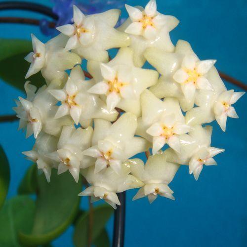 17 Best Images About Hoya Plant On Pinterest