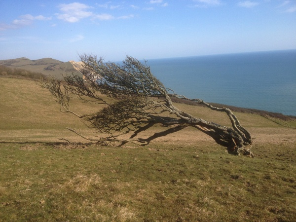 Wind blasted Hawthorn on the eastern side of Golden Cap, Dorset.