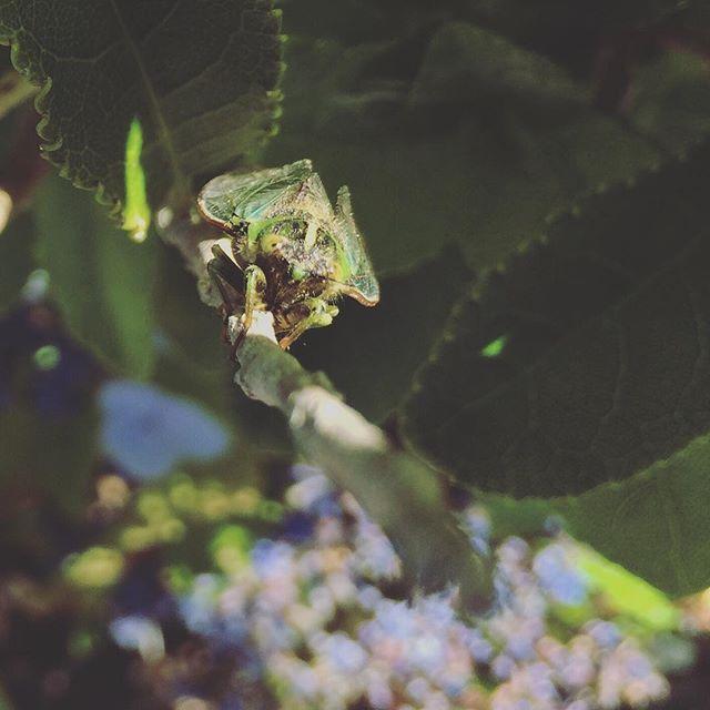 La cigale ayant chanté tout l'été...  #cigale #été #Punakaiki #NewZealand #nature #summer #cicada #buglover