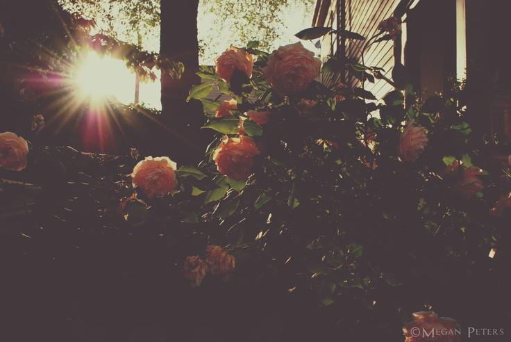 Roses in the evening light - Cambridge, Massachusetts
