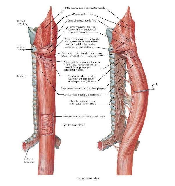 Musculature Of Esophagus Anatomy Anatomy Trachea Thyroid