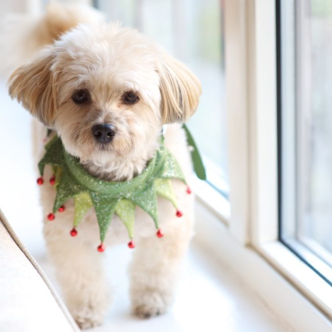 Oscar is looking extra fancy in his Martha Stewart Pets holiday collar!