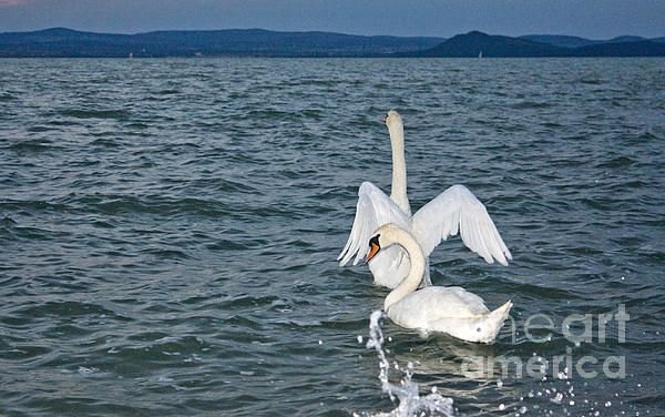 Swans On Balaton Lake In Sunny Day