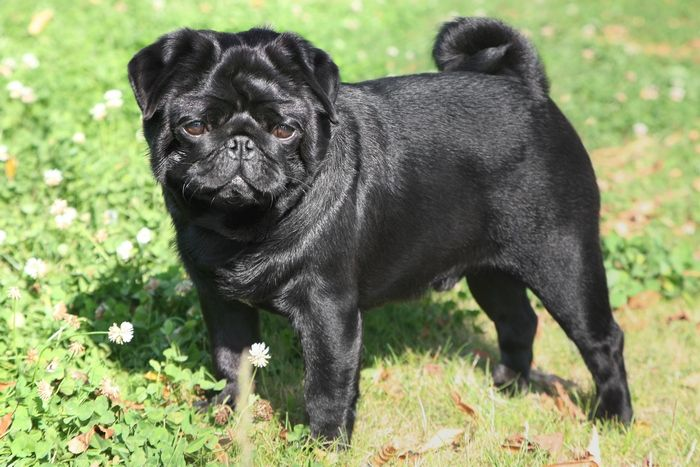 Don't Look Anywhere Else Until You Read These Great Tips About Pugs - https://weloveourpugs.net/dont-look-anywhere-else-read-great-tips-dogs/