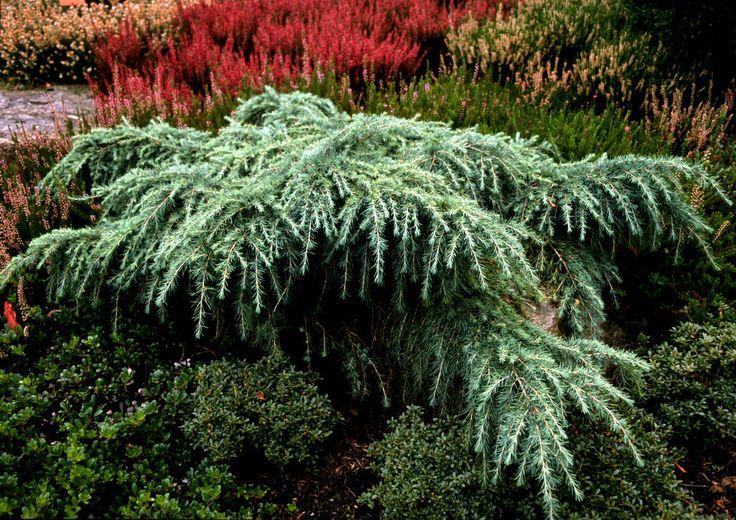 Kigi Nursery - Cedrus deodara ' Feelin Blue ' Weeping Himalayan Cedar, $15.00 (http://www.kiginursery.com/cedars/cedrus-deodara-feelin-blue-weeping-himalayan-cedar/)