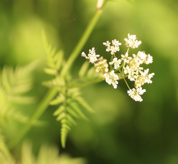 The beginning of summer in Finland, the best time of the year! #flower #finland #midsummer #green #nature