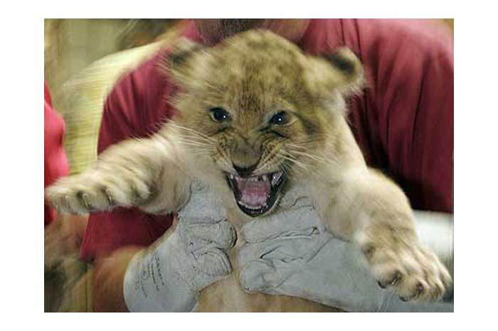9 Sevimli Kardeş 9 sevimli kardeş yavru aslan Almanya'nın Hodenhagen şehrindeki hayvanat bahçesinde doğdu. Farklı annelerden doğan yavru aslanların babası aynı.