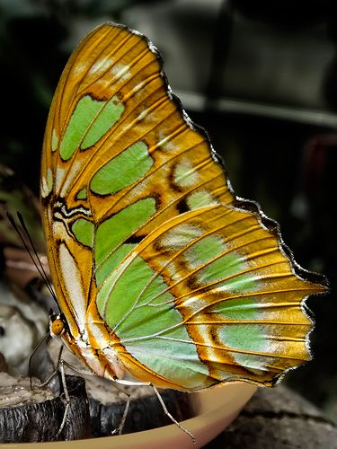 ~~pistacchio green ~ butterfly by spettacolorpuro~~