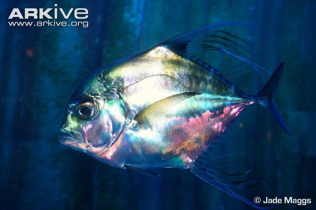 African pompano swimming underwater, side profile
