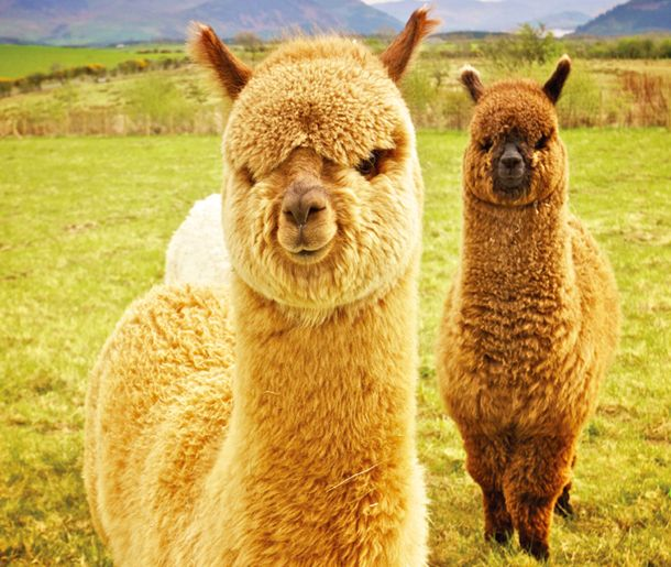 COOL FACTS ON ALPACAS!  -Alpacas are an ancient animal, domesticated by the Incas more than 6,000 years ago and raised for their exquisite fleece.  -Alpaca wool is super warm, flame-resistant, water-resistant and has no lanolin so its hypoallergenic as well! -Alpacas share a bathroom, using a communal dung pile, they can even be house-trained! -Alpacas Hum when they are curious, content, worried, bored, fearful, distressed or cautious.  Tour 3-n #Oreillys
