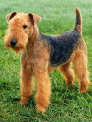 lakeland terrier (smallest of the three black and tan terriers)