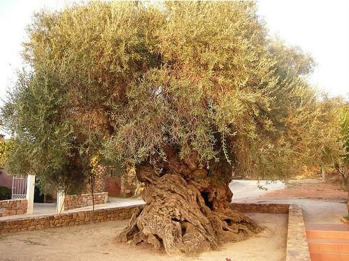 Olivier de Vouves en Crète, Greece. Tree 3000-year-old tree, the tree always produces olives this day