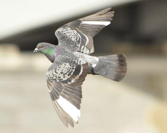 Pin By Vladimir Lepotic On Pigeon References Gohlub Beautiful Birds Pet Birds Pigeon