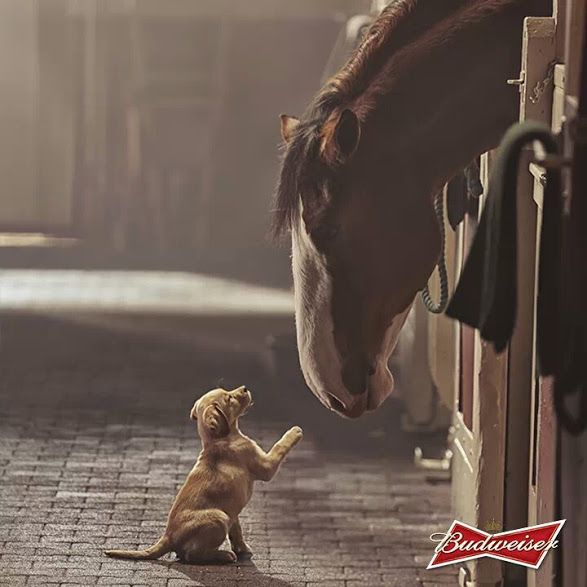 Budweiser Clydesdale...friends come in all shapes and sizes.