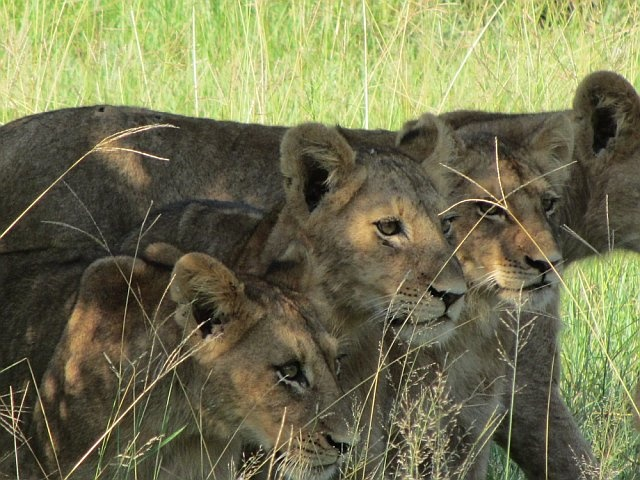 The young lions of the Southern Pride. Sabi Sabi, South Africa. Feb 2012.