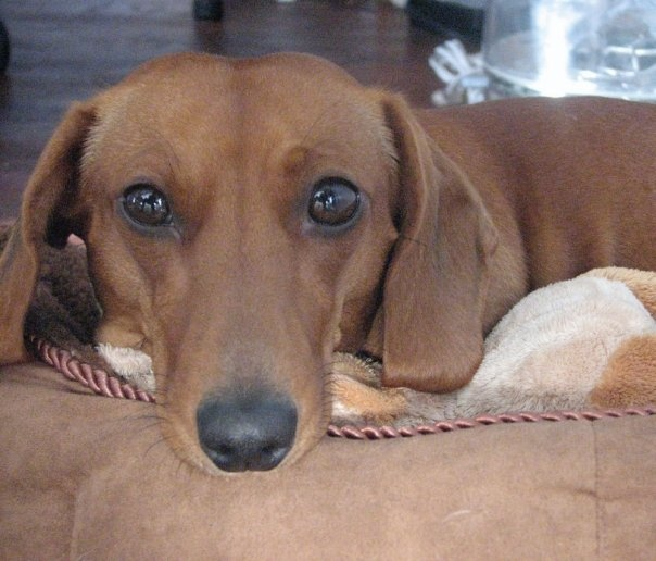 Dachshund Puppies For Sale In France