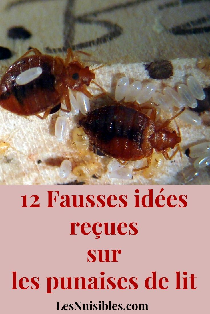 12 Fausses Idees Recues Sur Les Punaises De Lit Avec Images Punaises De Lit Les Acariens Puce De Lit