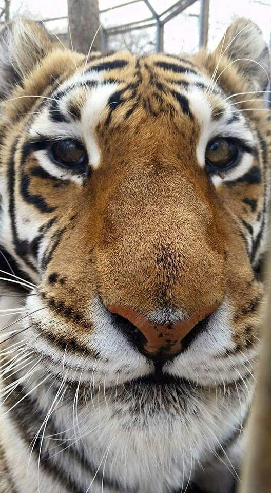 my favourite animal tiger My favourite animal tiger essay in english 26 sep 2018 / новости probability research paper xc essay like father like son tattoo britten sea interludes analysis essay sexism in movies essay diversity reflection essay high school essay islam and science best font for essay college.