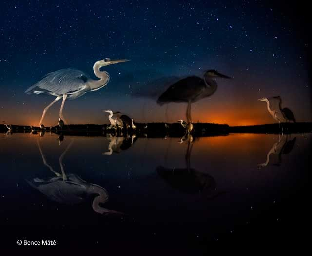 Herons in time and space