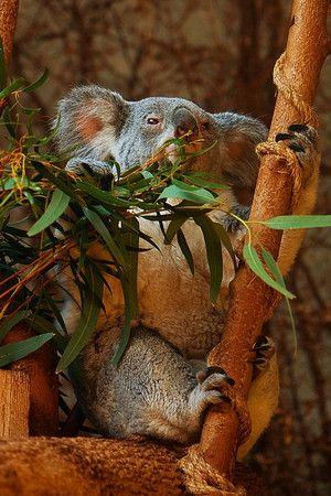 17 Best Images About Koala Bears On Pinterest Happy