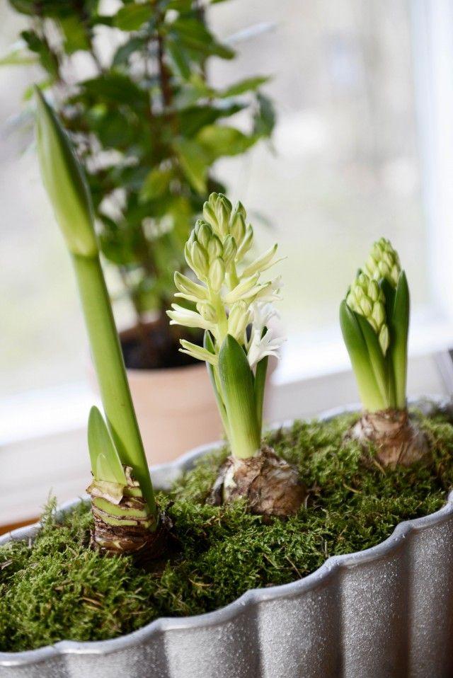 Drömhus/Sköna hem, hyacinter, jul