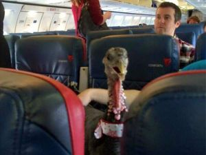 Airline lets passenger bring turkey on flight as 'emotional support animal'