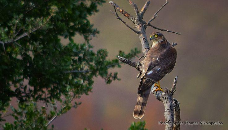 Thomas Nikolopoulos - Photographer: Ξεφτέρι (Accipiter nisus)