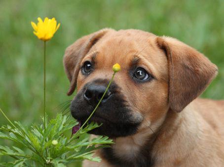 Must see Boerboel Black Adorable Dog - 4fc3cfb257af8cdf24ea7592a98f5376--cute-pets-adorable-puppies  Collection_469285  .jpg