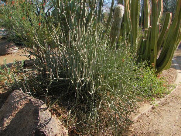 Desert Milkweed, Asclepias subulata