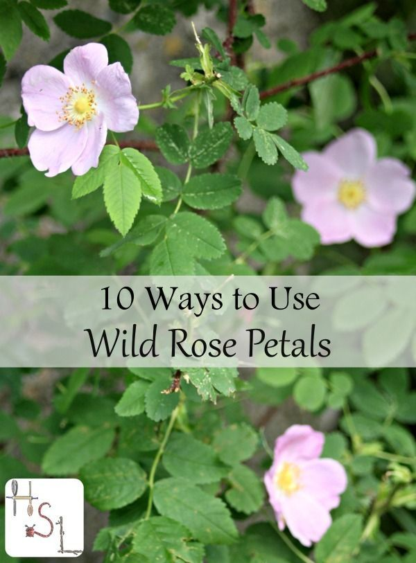 Make those most of wild rose petals with these ideas for food, medicine, and body products.