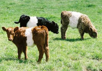 Mini Belted Galloway cattle ---I always thought they were called OREO COWS.