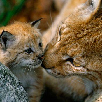 Eurasischer Luchs mit Baby ♥