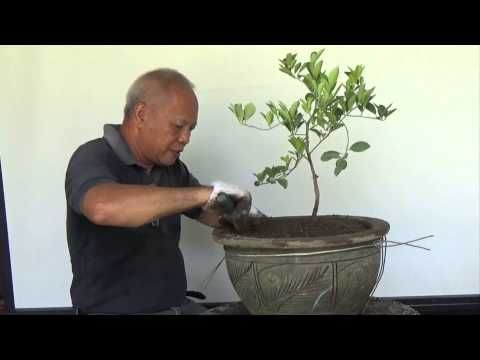 Bonsai Tutorials for Beginners: How to bonsai a Lemon tree from Nursery Stock. - YouTube