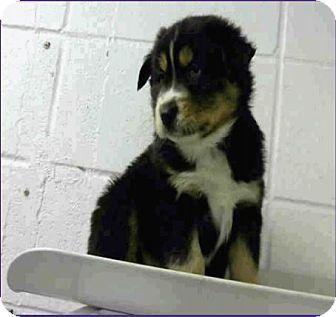 Denver, CO - Bernese Mountain Dog Mix. Meet Toby, a puppy for adoption. http://www.adoptapet.com/pet/17462695-denver-colorado-bernese-mountain-dog-mix