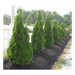 Emerald Green Thuja Fast Growing Trees Garden Outdoors Pinterest Growing Tree Fast