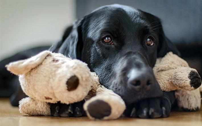 Indir duvar kağıdı siyah labrador, retriever, köpekler, sevimli hayvanlar