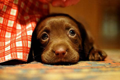 :(  Puppy breath kisses please!  Pink paws; pink nose; I'm happy.   - Brandi: Animals, Dogs, Sweet, Chocolate Labs, Pet, Puppys, Adorable, Baby, Eye