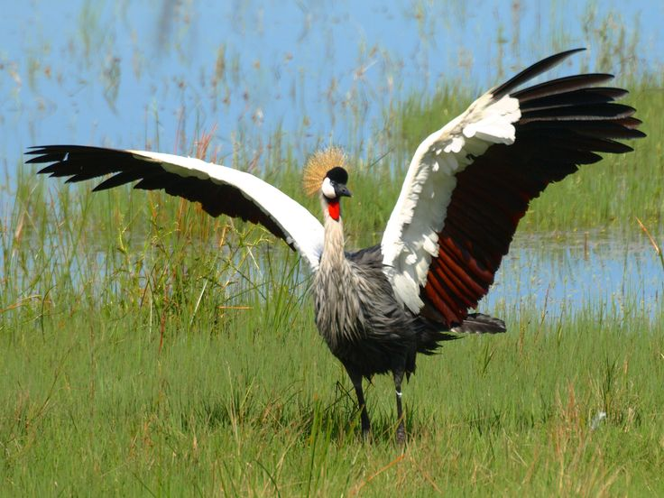 A crowned crane spreads its wings at the Karkloof Conservation Centre #beautifulbird, Midlands Meander, KZN, South Africa www.midlandsmeander.co.za