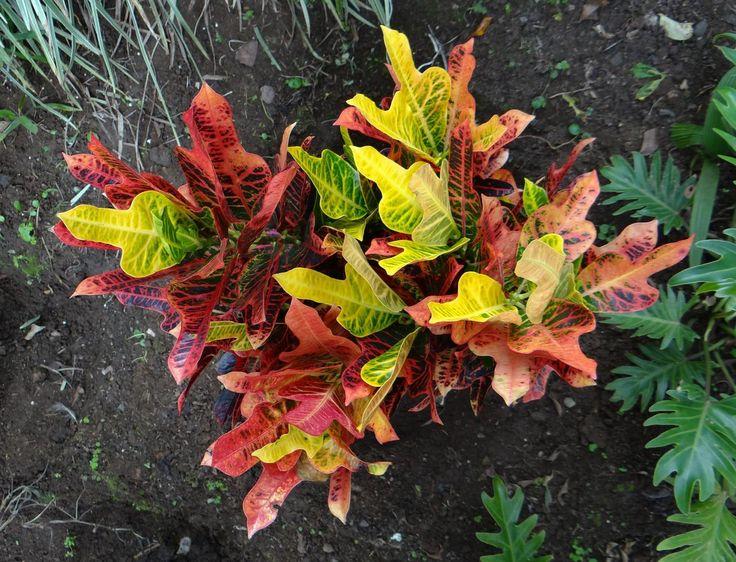 Codiaeum variegatum excellent codiaeum variegatum for Croton plant