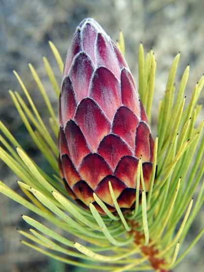 Protea Bud: Photo by Jenny Ross