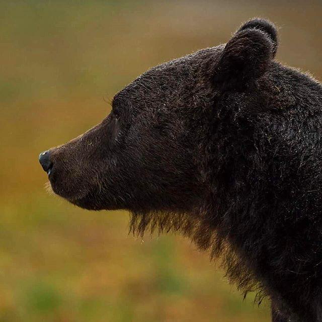 A Brown bear with a beard  #nikon #nikonambassador #nikontop #iamnikon #marvelshots #wildlife #natgeo #naturelovers #brownbear #brunbjørn #bjørn #bear #splendidanimals #exclusive_animals #wwf #natgeo #finland #nikon_sweden