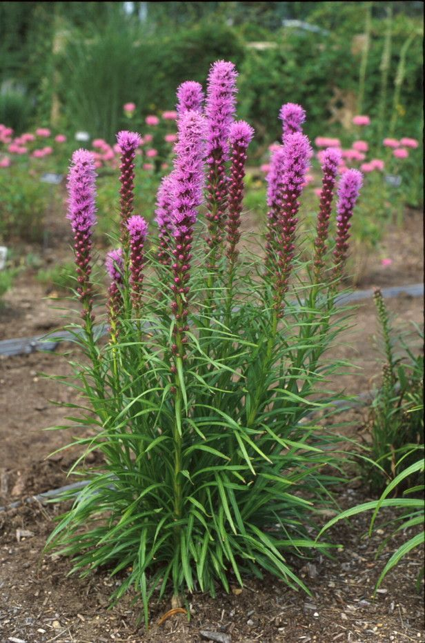 Perennial - Blazing Star (Liatris spicata 'Kobold') tops out at 3 feet. Butterflies and other pollinators mob blooms. Divide in spring as shoots appear.