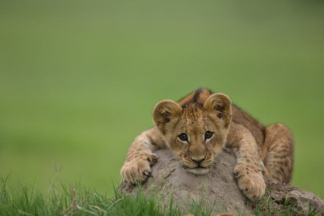 BITEBig Cat, National Geographic,  King Of Beasts,  Panthera Leo, Photos Art, Baby Lion, Rocks, Lion Cubs, Animal