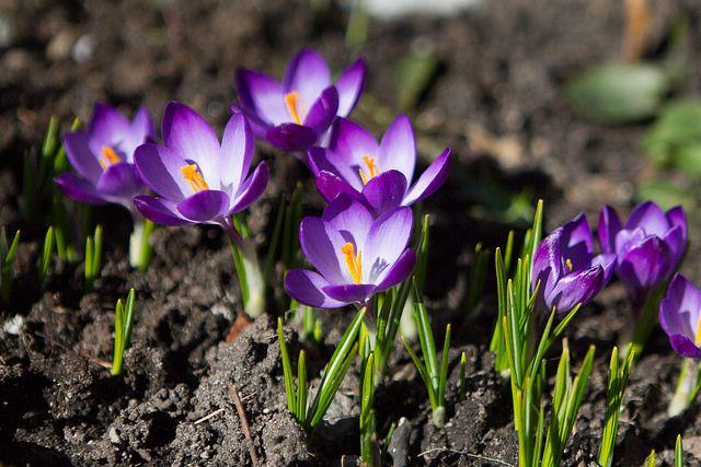 #Crocus #Story #flower #Mytohology #sping #primavera #legend #leggenda #mitologia #story #storia #history