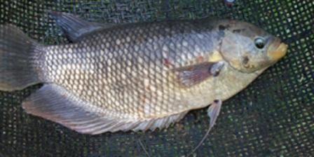 Ikan Gurami (Osphronemus goramy) adalah ikan konsumsi yang termasuk jenis ikan air tawar yang populer di Asia Tenggara dan Asia Selatan. Di...