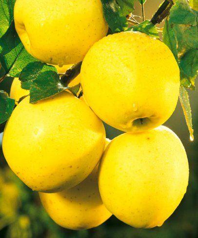Jabloň 'Golden Delicious'